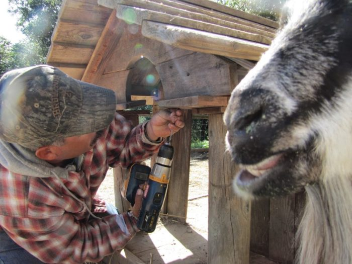 Lessons in Biodynamic Goat Keeping
