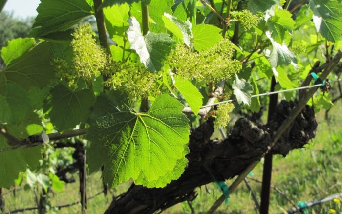 Blooming Grape Bunches