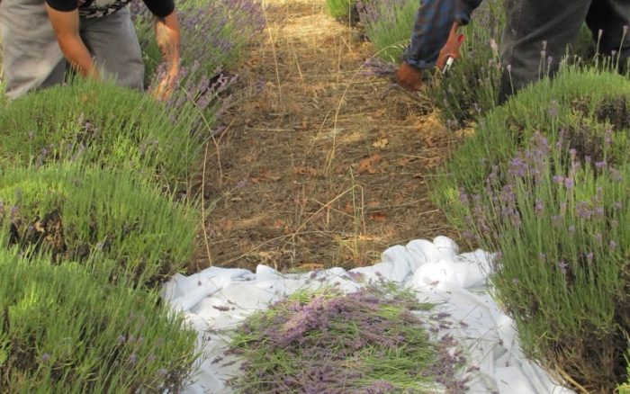 Lavender Harvest: Distillation
